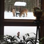 Deer coming for brakfast - view from a dining room