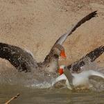 Ducks having fun