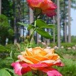 Gardens of the American Rose Center Φωτογραφία
