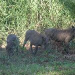 Warthog passing cottage