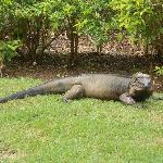 Iguana all'interno del villaggio.... la loro mascotte.... buonissimo si fa anche accarezzare....