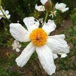 catalina rose