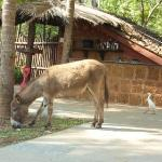 Mantra, the donkey in front of the bar area
