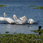 Beautiful white pelicans !!