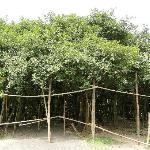 Acharya Jagadish Chandra Bose Indian Botanic Garden Foto