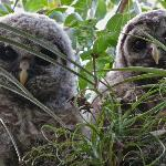 Baby barred owls in the tree