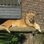 Zoo Duisburg, Löwengehege