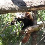 the red panda