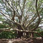 Banyan Tree along the Trail
