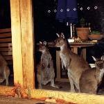 Kangaroos come to visit