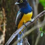 Trogon - taken from my outdoor shower!