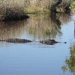 un des nombreux alligators, vu de près
