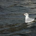 I'm a black dotted gull until spring
