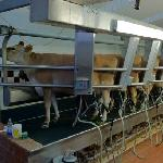 Cows being milked at Lapp Valley Farm