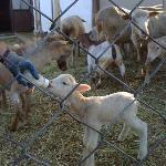 La signora Anna allatta l'agnellino
