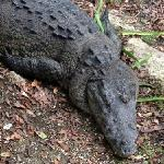 Crocodiles near the lagoon and the gulf course!