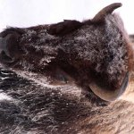 the bison were quite close at times