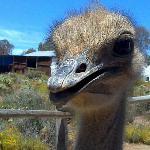 local ostrich