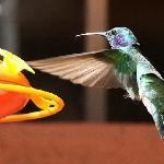 Colibri in Monteverde