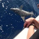 The 5-6 ft Bronze Whaler Shark.