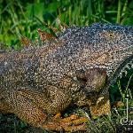 "Joe ""The Green Iguana"""
