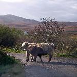 Jura cattle mum & baby