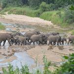 elephant herd crossing the river