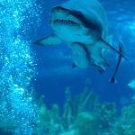Grey white shark