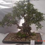 Unique collection of bonsai