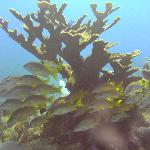 Elkhorn coral at Esmerelda