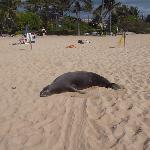 Mönchsrobbe auf dem Poipu Beach