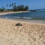Green Turtle auf dem Poipu Beach