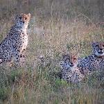 Cheetah-Familie