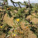 acacia's flowers