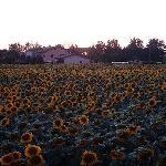 Sunflower heaven next door to hotel