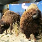 Buffalo Display