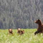 MaMa grizzly with 3 cubs