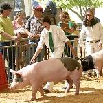 4H Swine