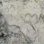 Fresh tiger footprints