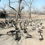 feed the geese and ducks