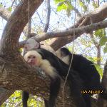 Capuchin monkeys in the trees between the pool and beach
