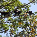 Howler Monkey crossing