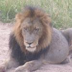 Beautiful Lion who was on the airplane runway!