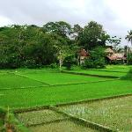 Saren Indah rice view