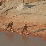 Girafes drinking by the dam