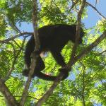 howler monkey in the trees out front