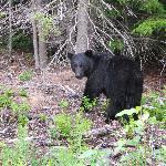 Bear on the Cassiar