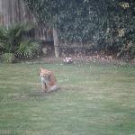 A visiting fox