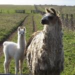 Llamas were everywhere along the winding roads...