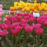 Keukenhof tulipani